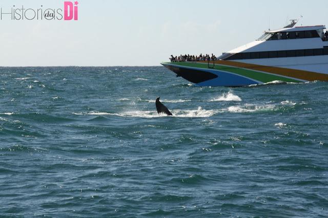 nadadeira baleia jubarte