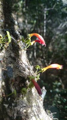Halleria lucida in April at Woody Ravine