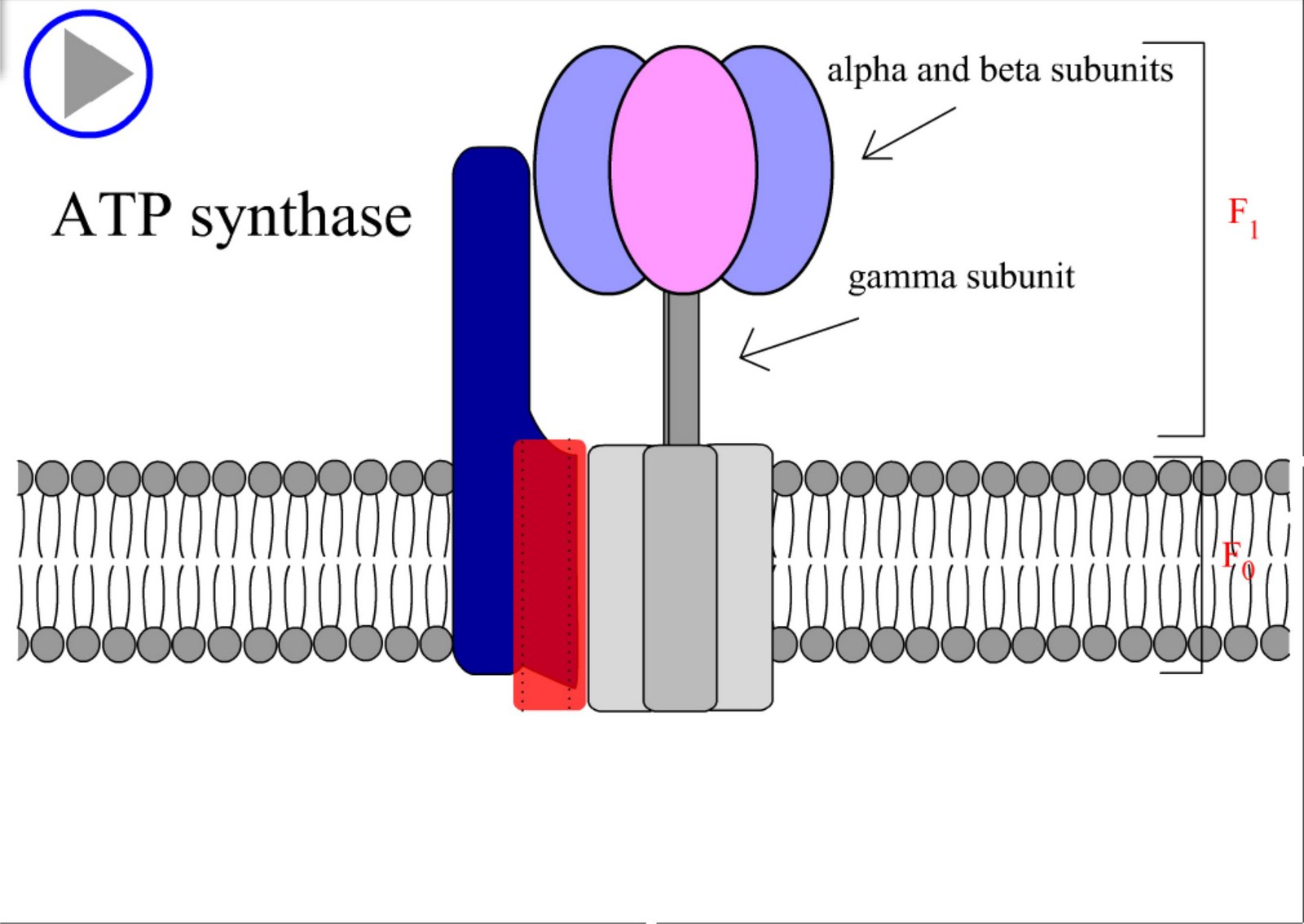 ATP synthase swf   sin...