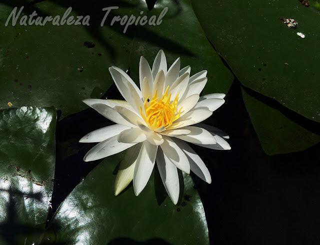 Flor de la planta acuática conocida popularmente como Nenúfar, género Nymphaea