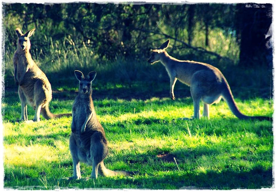 7 Ciri-Ciri Kanguru dan Makanannya