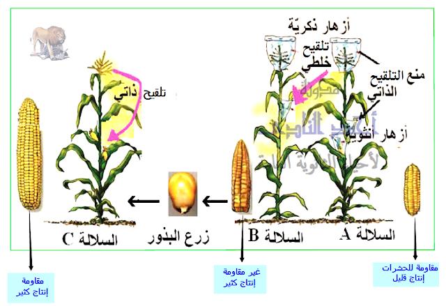 المناعة فى النبات - إنتاج سلالات مقاومة للحشرات - التربية النباتية