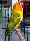 Cara Mengetahui Lovebird Mempunyai Ngekek Panjang