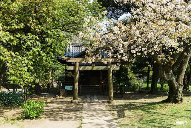 浜離宮恩賜庭園・稲生神社と桜