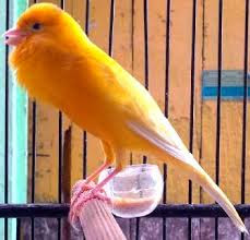 Cara Merawat Burung Kenari Agar Bisa Cepat Gacor Ngerol