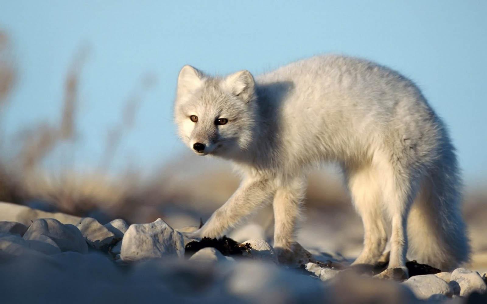wallpapers: Arctic Fox Wallpapers