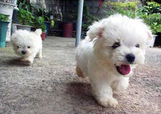 happy fluffy running puppies.  Awww.