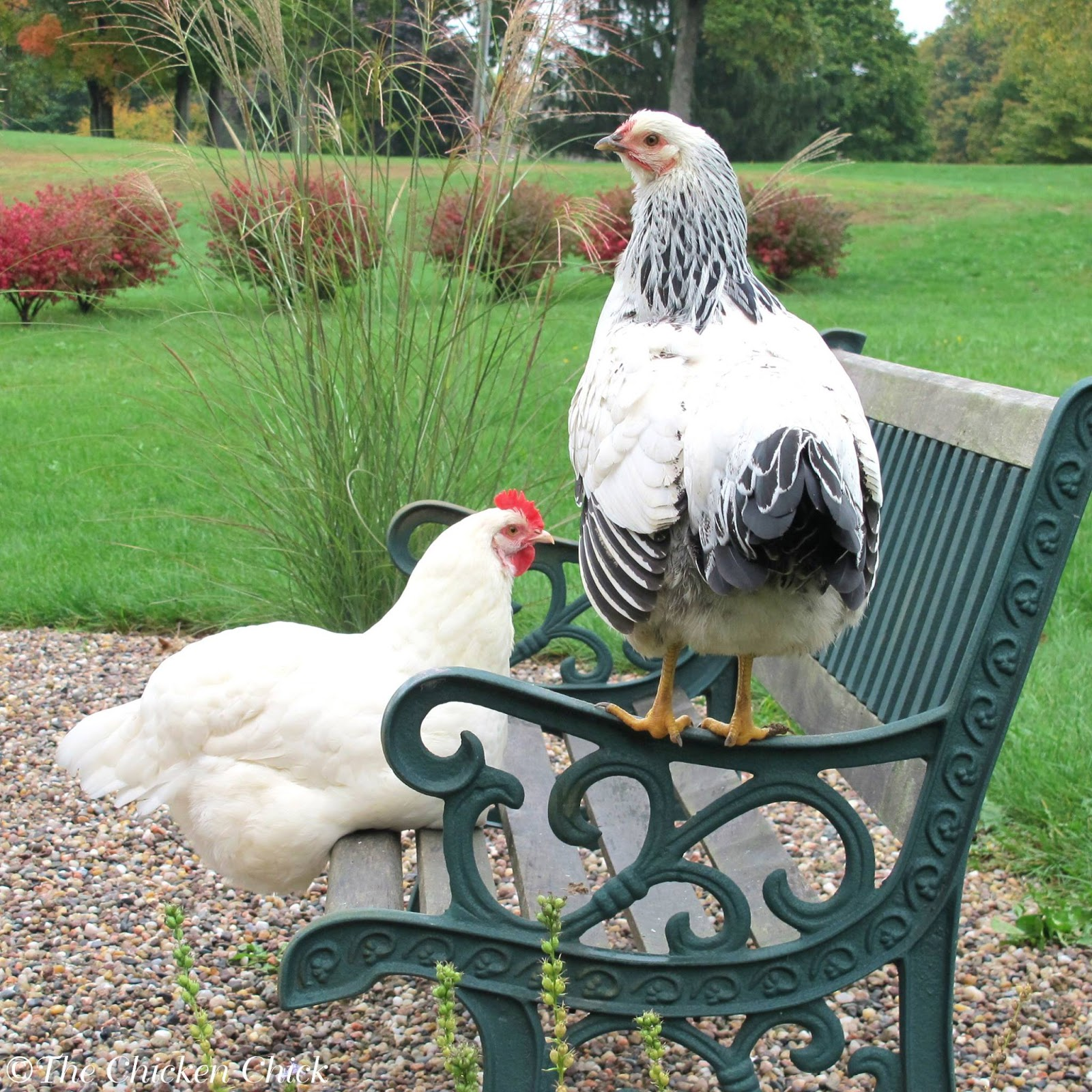 the chicken how altering feed can hurt your chickens