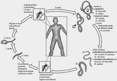 atau elephantiasis merupakan penyakit yang tergolong satu spektrum penyakit yang disebut  Penyakit Kaki Gajah