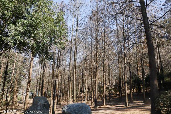 台中后里|如光山寺池杉林|杜鵑花步道|近泰安落羽松