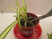 Snip off the plantlet when it has roots of its own