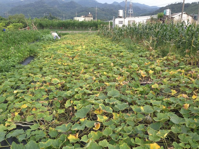 GongGuan,Miaoli,Taiwan-Village style,Pumpkins in farmland - More than imagined