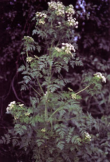 A plant with dark, but muted green foliage growing in what seems all directions. White flower clusters also seem to be growing out of the plant in several places.