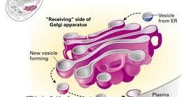 Mempelajari Ciri-ciri Badan Golgi dan Fungsi Badan Golgi