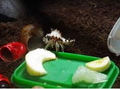 Kepiting Hermit Hewan Peliharaan Omivora Untuk Terarium makanan
