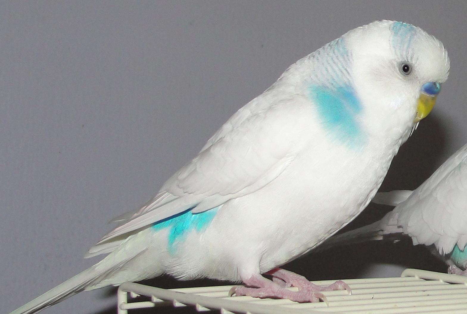 White Parakeets To the...
