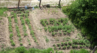 Lovely tidy weeded garden with LOTS OF SPUDS