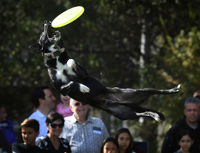 Пес ловить фрізбі