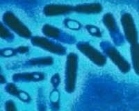 bakteri Bacillus thuringensis