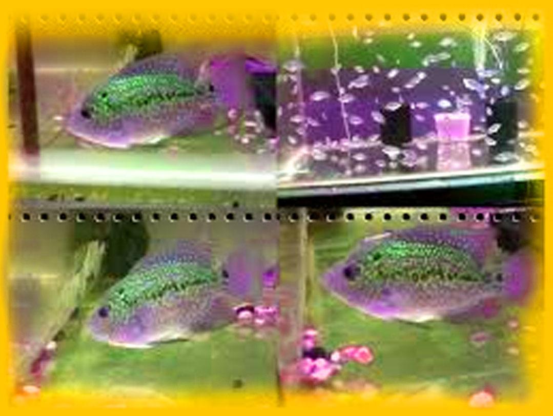 Cara Pemijahan Dan Pemeliharaan Larva Ikan Louhan Jenis Tanaman Hidroponik