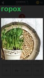 в тарелке лежит горох и рядом в горшке выращивание ростков гороха