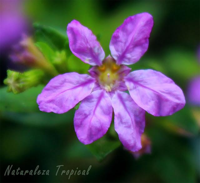 Flor característica de la Cufea o Trueno de Venus, Cuphea hyssopifolia (vista de cerca)