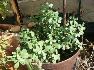 Portulaca oleracea, verdolaga, usos y propiedades cultivo en macetas