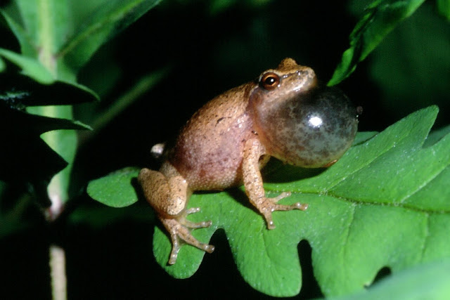 Spring Peeper facts and information 3
