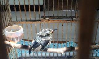 tanda kolibri sakit