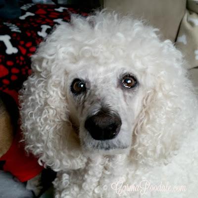 CarmPoodale, my lifeline, my heart, Standard Poodle