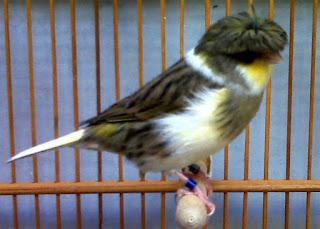 Burung Kenari Gloster merupakan kenari yang kecil, dengan panjang sekitar 11cm. Burung Kenari Gloster memiliki warna kuning dengan bagian sayap putih atau kehijau-hijauan, sama seperti bagian ekornya. Kepala burung Kenari Gloster ada yang berjambul dan ada yang tidak. Burung yang berjambul dikenal sebagai Corona, sedangkan burung dengan kepala polos (tidak ada jambulnya) disebut Consort. Burung jenis kenari ini termasuk jenis burung kenari baru. Kenari Gloster sengaja diternakakn ke arah jenis yang keil dan diusahakan agar selalu kecil. Harga Burung Kenari Gloster ini dikisarkan 500 Ribu - 1.5jt Untuk melihat harga burung 2016 KLIK DI SINI   Kenari Gloster adalah kenari impor yang bentuknya cukup kecil dibanding kenari lainnya, yaitu dengan bentuk fisik paling panjang sekitar 11 centi meter. Setelah mengamati perkembangan kenari Gloster dari waktu ke waktu, ternyata sebagian besar kenari jenis ini mampu memberikan keturunan yang bagus. Yakni pada tahun 2008 ataupun 2009 terdapat berbagai macam jenis Gloster yang postur tubuhnya hampir sempurna persis dengan Gloster dari daerah asalnya, yakni dengan ciri-ciri yang menonjol pada postur tubuhnya yang bulat seperti bola serta bulu-bulunya yang merebak. Berbeda dengan tahun sebelunya kenari Gloster posturnya lebih banyak yang panjang dan tidak ideal. Burung kenari Gloster memiliki suara yang cukup menawan, yakni kicauan yang berombak serta lekukan-lekukan nada yang khas, menjadikan kenari jenis ini suaranya cocok dijadikan sebagai bahan untuk memaster kenari . Dan memang tak sedikit yang menerapkan suara kenari sebagai suara master. Dan sudah banyak penangkar kenari ini yang berasil merekam suara murninya yang sejak awal kedatangan kenari ini, sebelum mendengar kicauan jenis kenari lainnya, kemudian menirukannya. Selain ciri-ciri yang telah kami sebutkan di atas, ada ciri lain pada kenari Gloster, yaitu fisiknya yang nampak lucu disertai warnanya yang bervariasi. Tetapi sayangnya, sebagian besar kenari ini jarang ada war