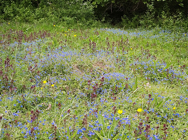 A patch of grass infused with the bright blue flowers of germander speedwell
