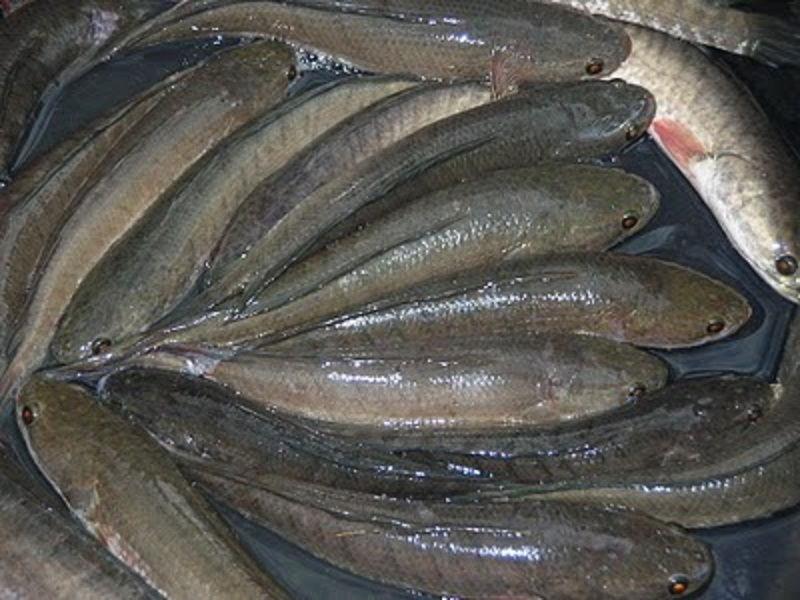 pakan ikan gabus yang baik untuk pertumbuhan