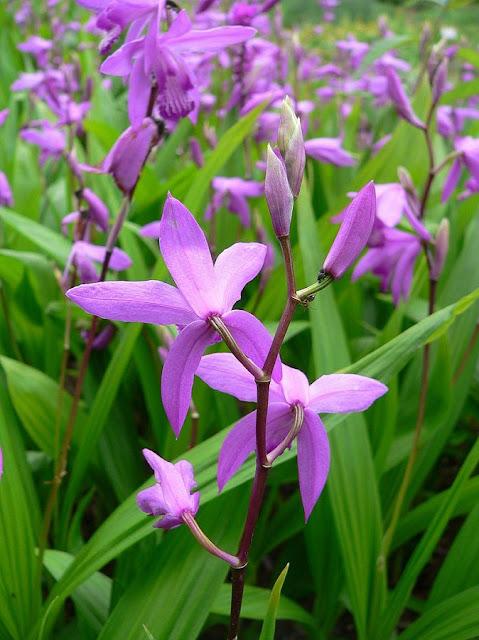 Hoa BẠCH CẬP - Bletilla striata - Nguyên liệu làm thuốc Chữa Ho Hen