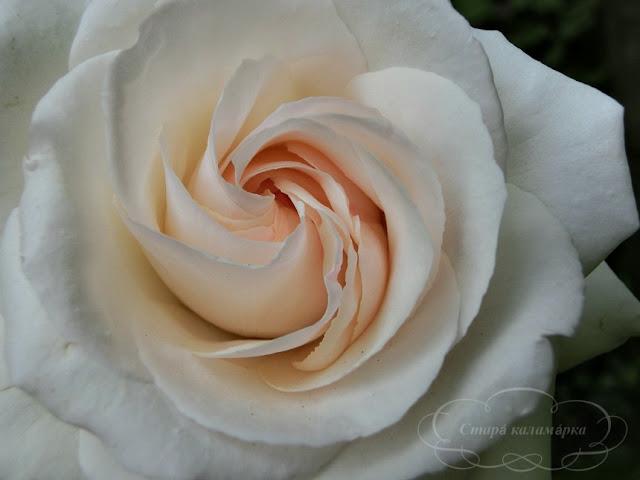 роза Крокус, розы, розарии, сад и розы
