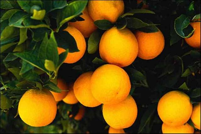 tanaman hias buah jeruk keprok bali tejakula