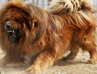 Fully grownup tibetan mastiff