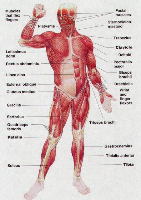 शरीर की मुख्य पेशियाँ