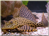 Plecostomus Fish Pictures