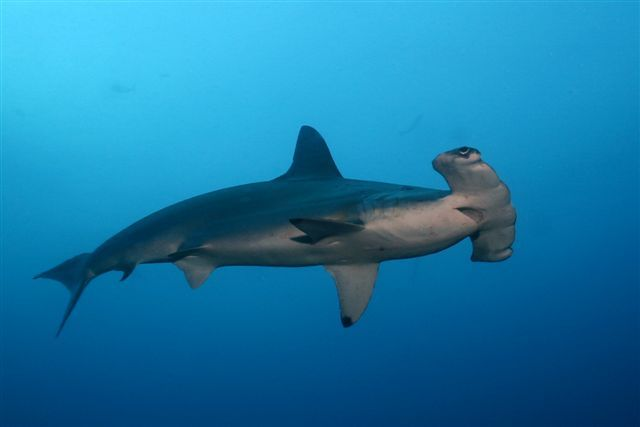 Smooth Hammerhead Shark | Animal Unique