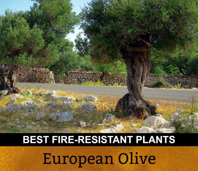 Best Fire Resistant Plants European Olive