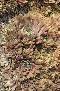 Sempervivum tectorum var. atropurpureum