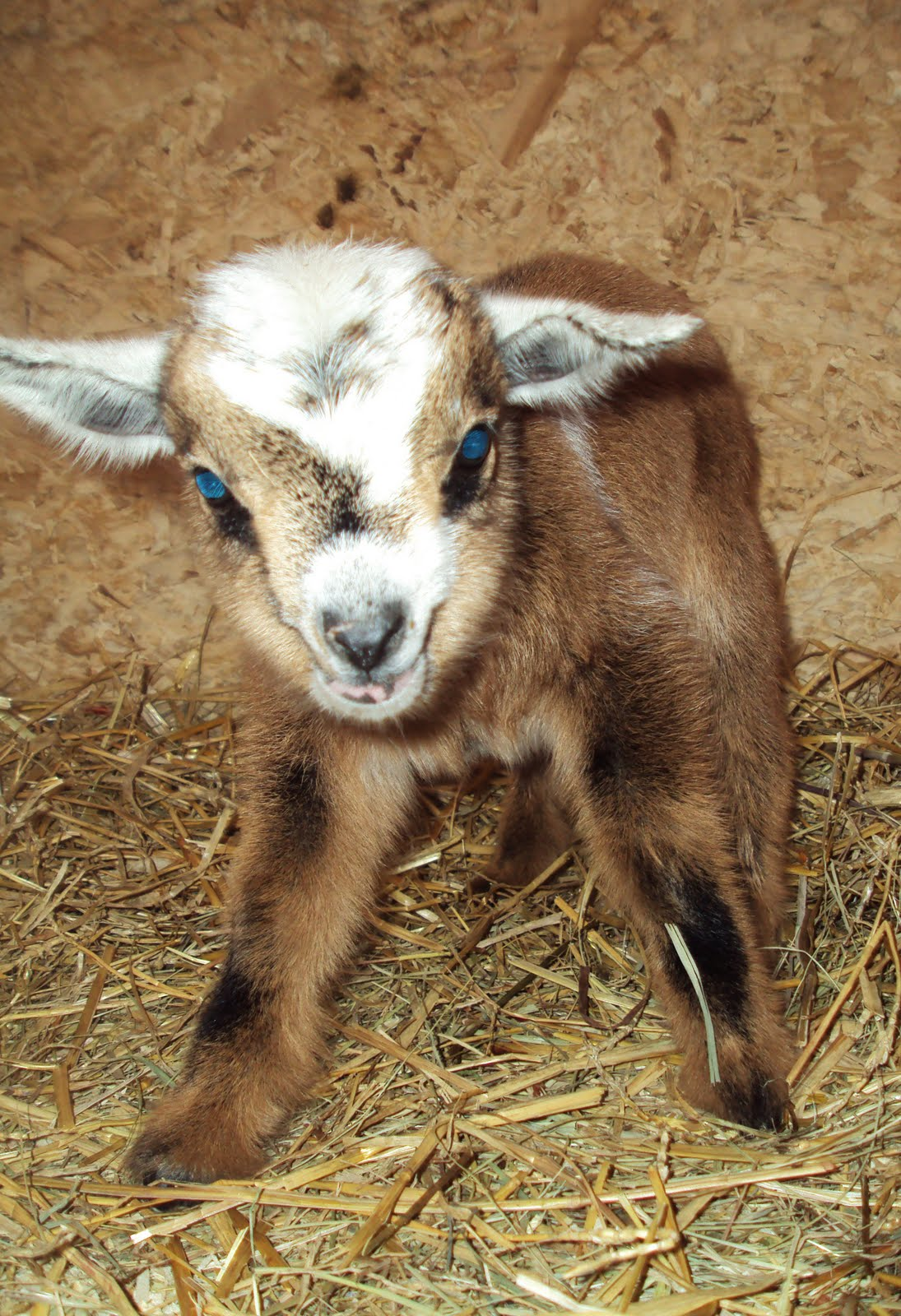 A Goat S Journey Over Life S: Homestead ...... From Scratch: Nigerian Dwarf Goats