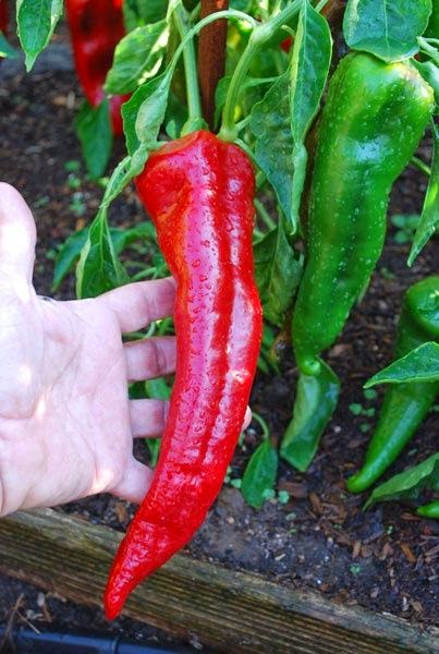 #Gardening : How to Grow Peppers