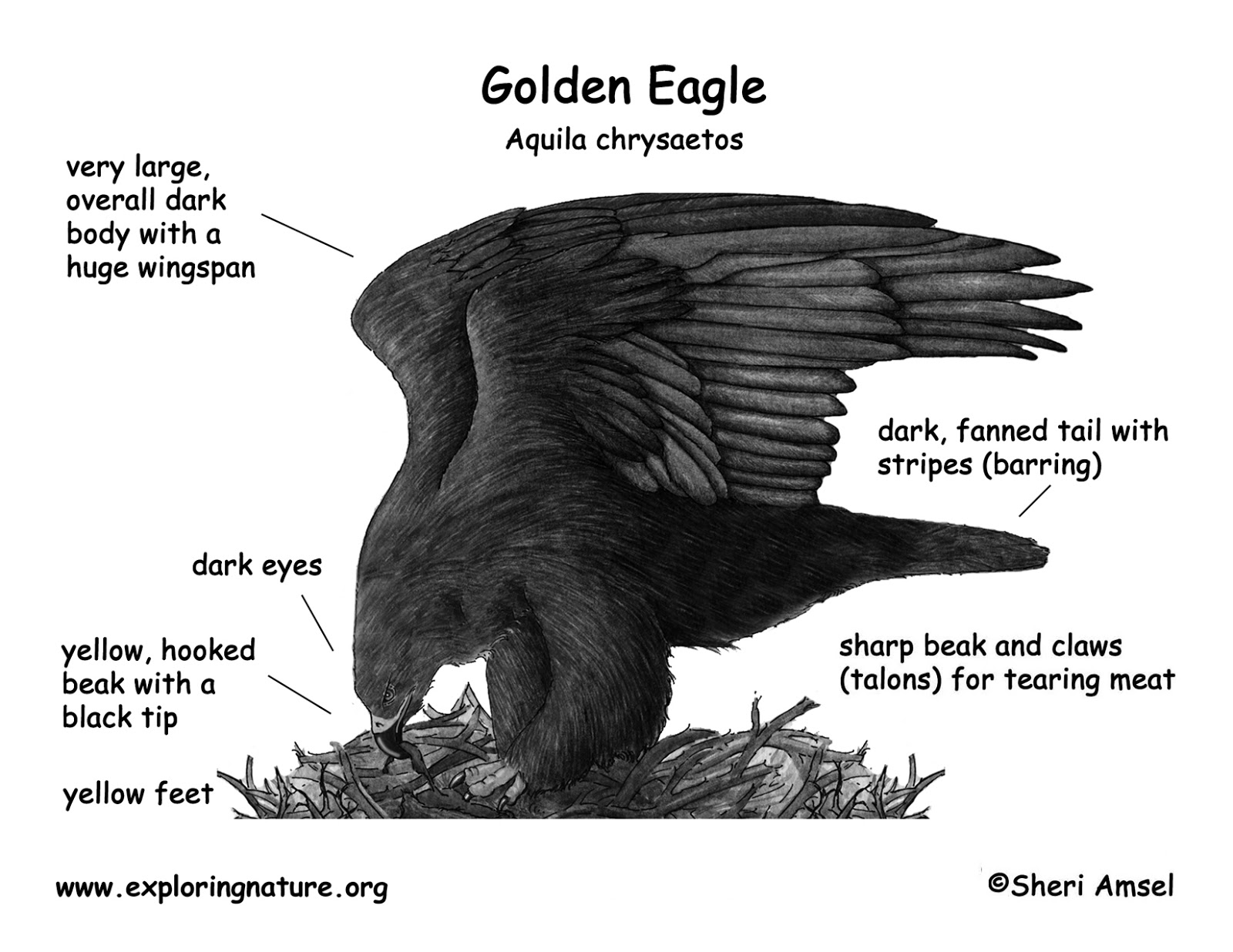 Admirable A Bald Eagle Wiring Cloud Oideiuggs Outletorg