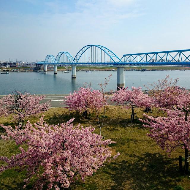 江戸川 妙典 河津桜