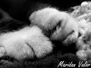 Mostly Black and White Cat Photos; by Maridan Valor of Night Sea 90