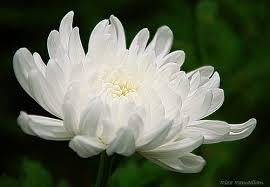 bunga krisan putih surabaya32