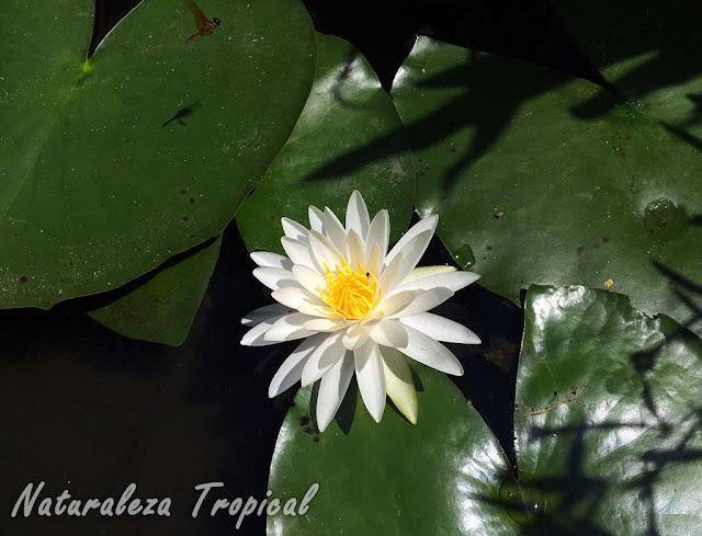 Otra imagen con un nenúfar florecido en un estanque, género Nymphaea