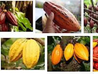 Cara Mudah Budidaya Tanaman Kakao